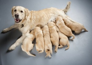 female golden retriever with puppies