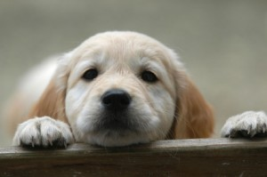 Golden Retriever Adoption Puppy