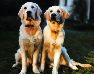 Golden Retriever Puppies - Our Dogs